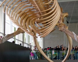 The Blue Whale Skeleton at the Beaty Biodiversity Centre