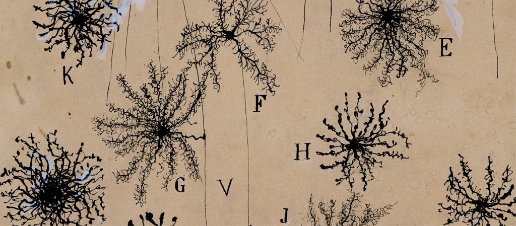 Image by Santiago Ramon y Cajal of glial cells