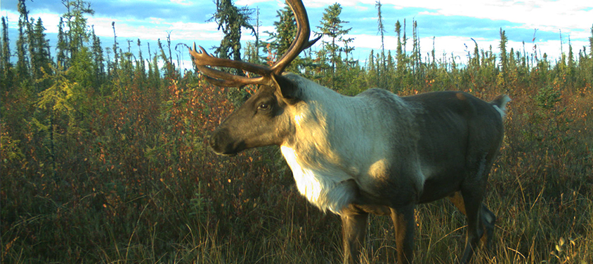 A woodland caribou 'captured' by a WildCo camera trap